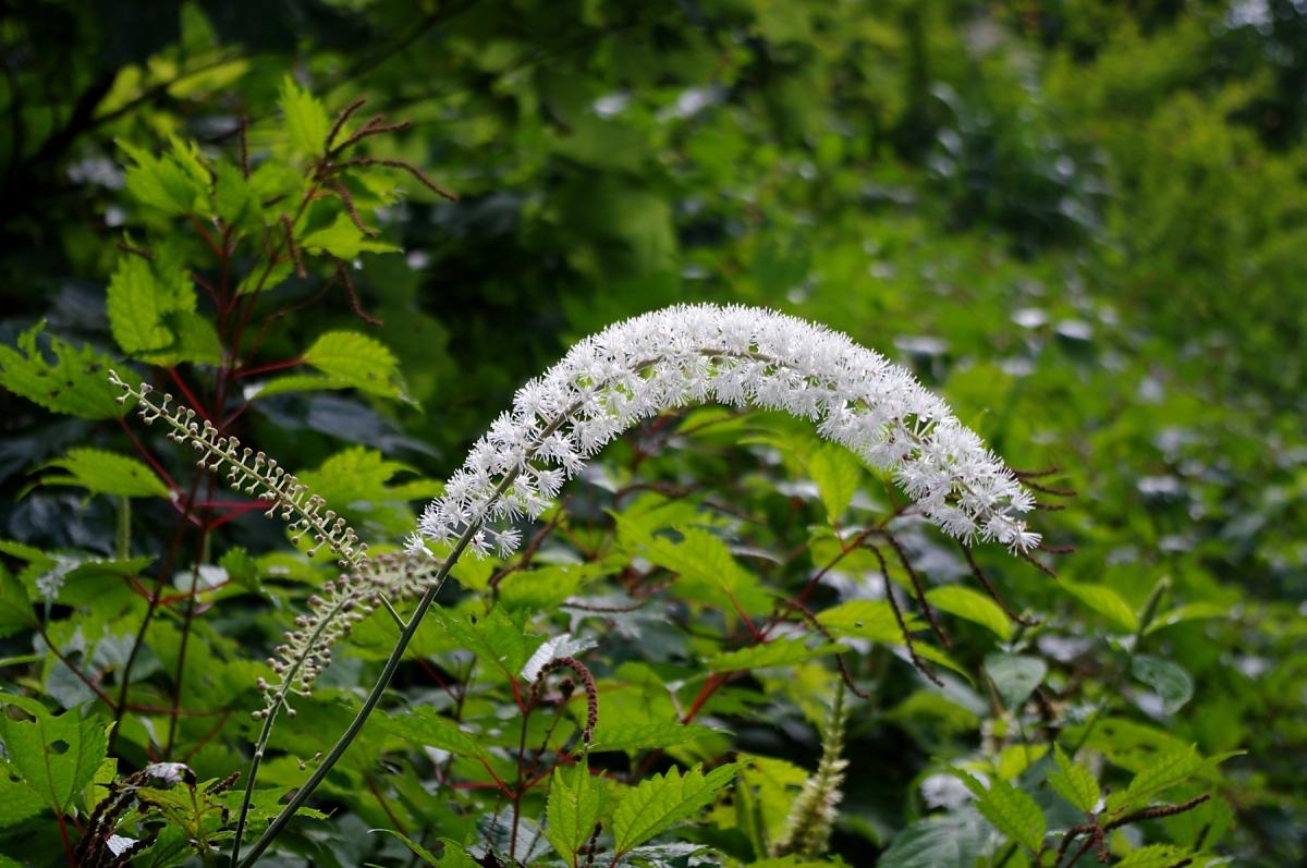 サラシナショウマ(キンポウゲ科:Cimicifuga simplex (DC.) Wormsk. ex Turcz.) 真っ白い巨大なネコジャラシのようです。 ちょっと人工的な感じさえする純白で、つぼみの状態では、「ヨウシュヤマゴボウ」などにちょっと似てなくもないです。 ふわふわの花は、日があたっていると、遠くの山腹でもあちこち咲いているのがよく目立ちます。