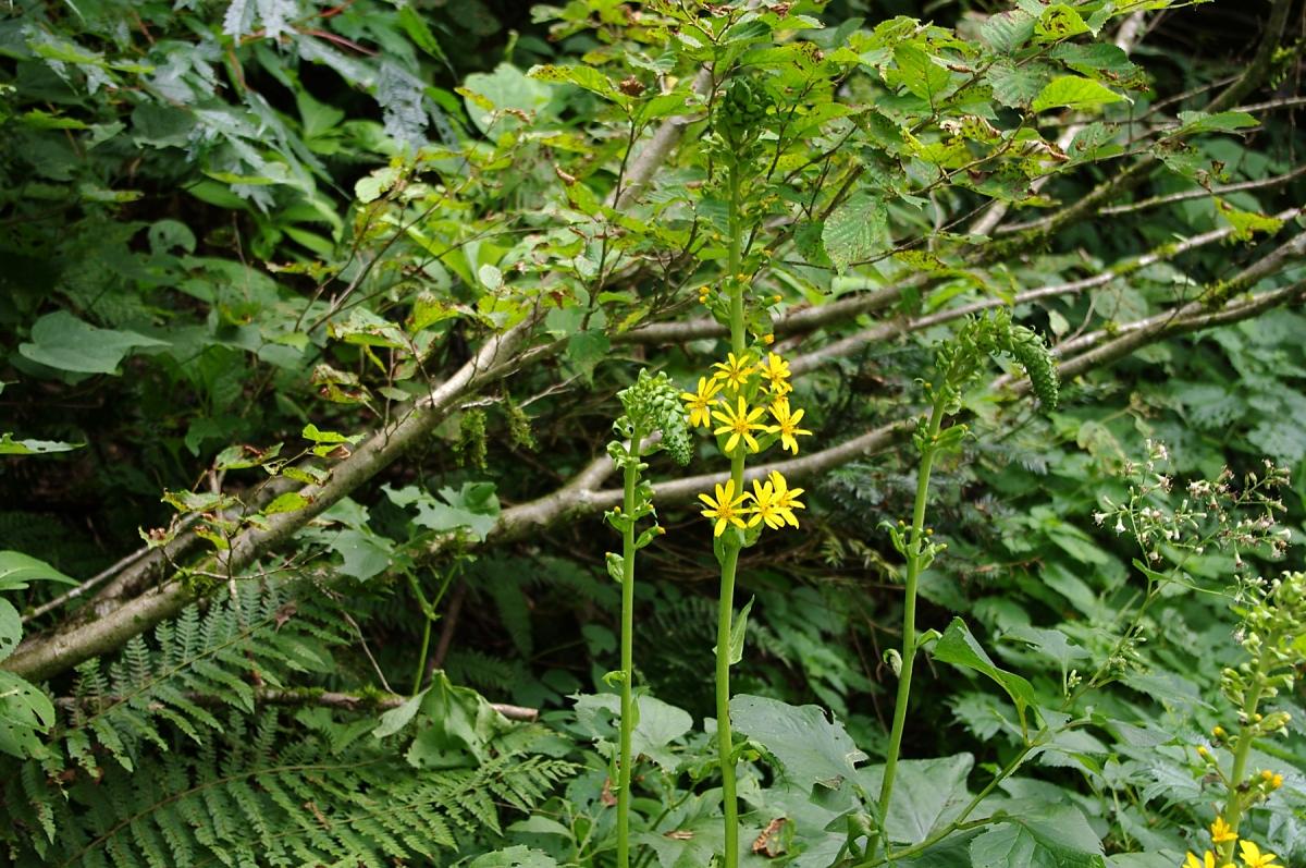 オタカラコウ(キク科:Ligularia fischerii ) 湿地的なところに生える、よく目立つキク科らしい花ですが、葉だけみるとフキの類かと思う形です。 実際、ツワブキはわりあい近い種類で、花序は全然違いますが個々の花はちょっと似ています。 兄弟関係の花には、同属の「メタカラコウ」がありますが、個々の花の咲き方が違うのと、花が散りかけていたり咲いていない時期でも、葉の形が違うので判別できます。 湿地を好む花ですが、日当たりは良い方が好きなようで、林の中より林道脇などに多く生えています。