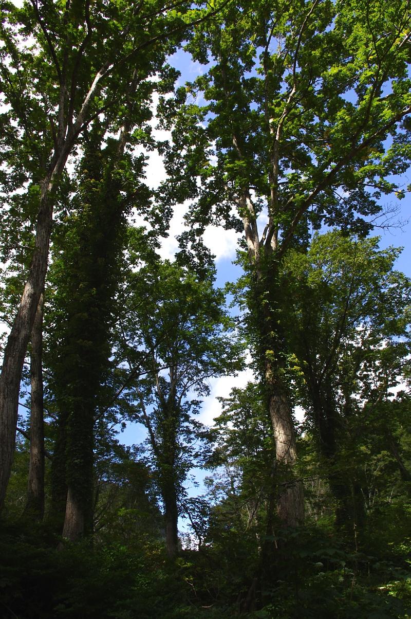 サワグルミの巨木。 この森では、ミズナラをサワグルミが駆逐しつつあるということである。