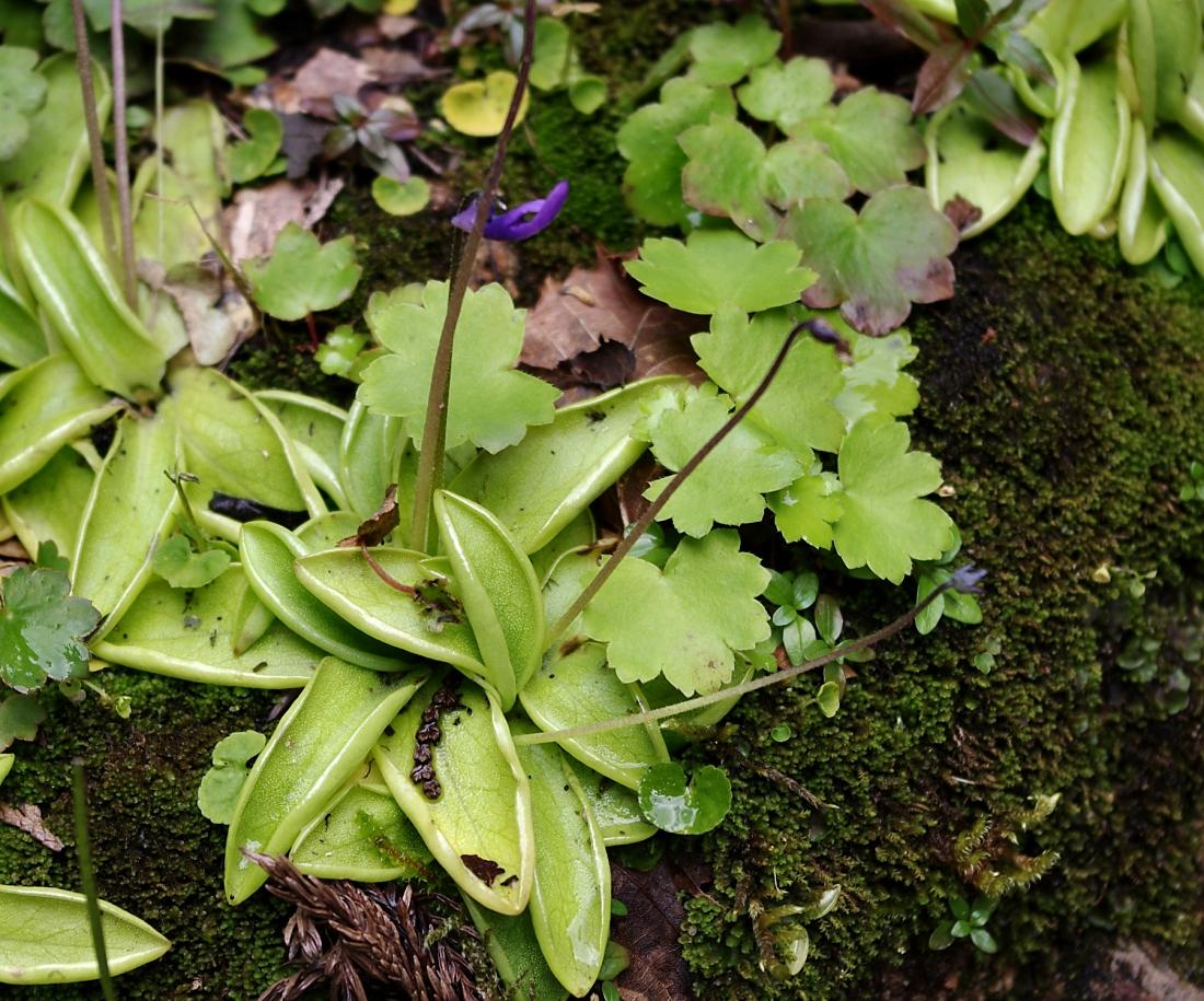 ムシトリスミレ(タヌキモ科:Pinguicula vulgaris)これは、「スミレ」の名を付けられていますが、スミレではなく、「タヌキモ科」の食虫植物です。花の印象がスミレに似ているというだけで、葉は全く違うものとなっており、表面は粘液で覆われ、貼り付いた小虫を消化吸収します。この花は亜高山の岩場に見られ、高山植物に近い見方をされることもある山岳植物ですが、ここ青海黒姫山中腹では、石灰岩のカルスト地形による特殊な寒冷気候のため標高700mほどのところに生息しています。流石に花はもう終わりでほとんど散っていましたが、通常の花期は6-8月ということですから、花期もここでは遅くずれ込むようです。