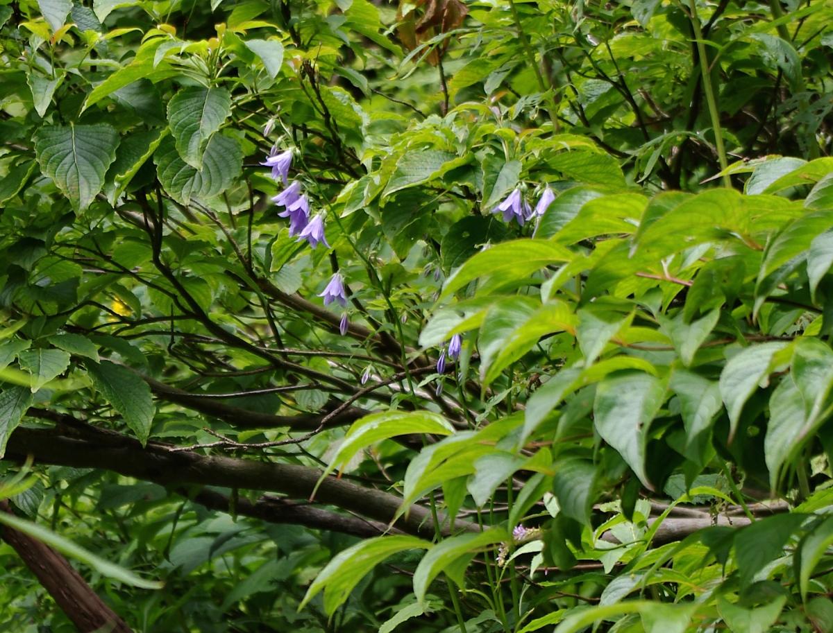 ハクサンシャジン(キキョウ科 Adenophora triphylla var. hakusanensis)野山に見られるツリガネニンジンの高山型変種とされ、タカネツリガネニンジンとも呼ばれる。低地のツリガネニンジンよりも花の色が濃い。これも季節最後の咲き残りのようです。