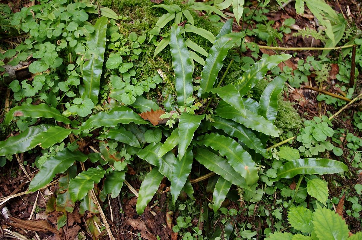 コタニワタリ(シダ植物 チャセンシダ科 Asplenium scolopendrium)オオタニワタリの仲間は、沖縄の密林など樹上に着生する南方系の植物ですが、コタニワタリは全国幅広く分布します。むしろ寒冷な山岳にあるイメージですが、ここ糸魚川黒姫山にも元気に茂っていました。羊歯の仲間の中では一番シンプルな葉のつくりで、葉が綺麗なので観葉植物としても栽培されるようです。どうも、奥秩父とかの沢沿いでよく見る気がするので、そもそも石灰岩が好きなようです。