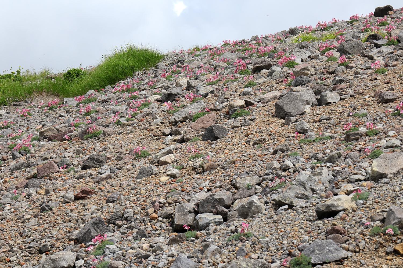 乗鞍岳のコマクサ群生地
