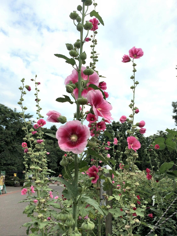 タチアオイ 2014.6 小金井公園