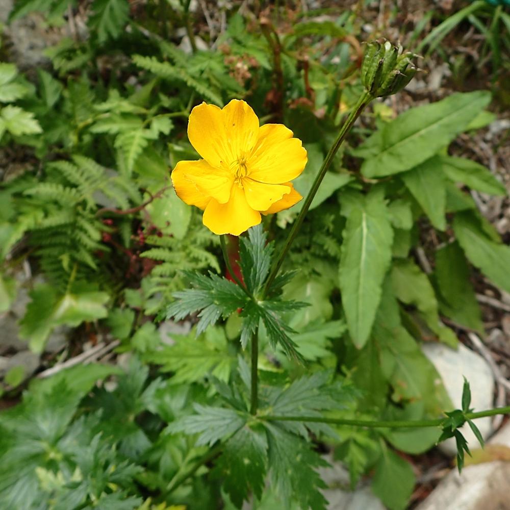 この花は、八重っぽい  2015年8月 仙丈岳(標高約2300m)