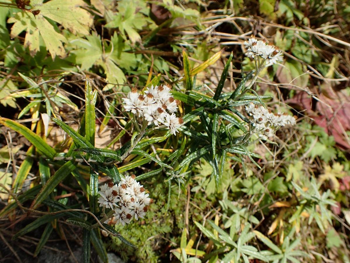 2015年10月 谷川岳頂上肩の小屋付近 ただでさえドライフラワー的な花ですが寒風によく耐えています。