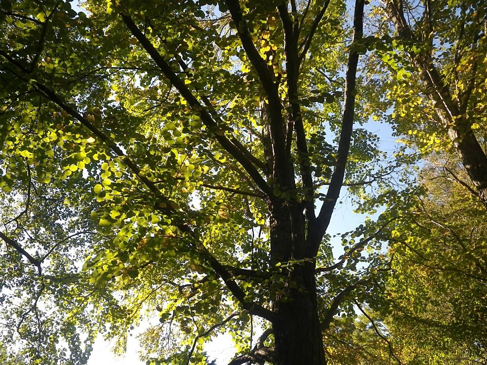 2014/10 所沢航空記念公園 遠くから見るとまん丸な葉