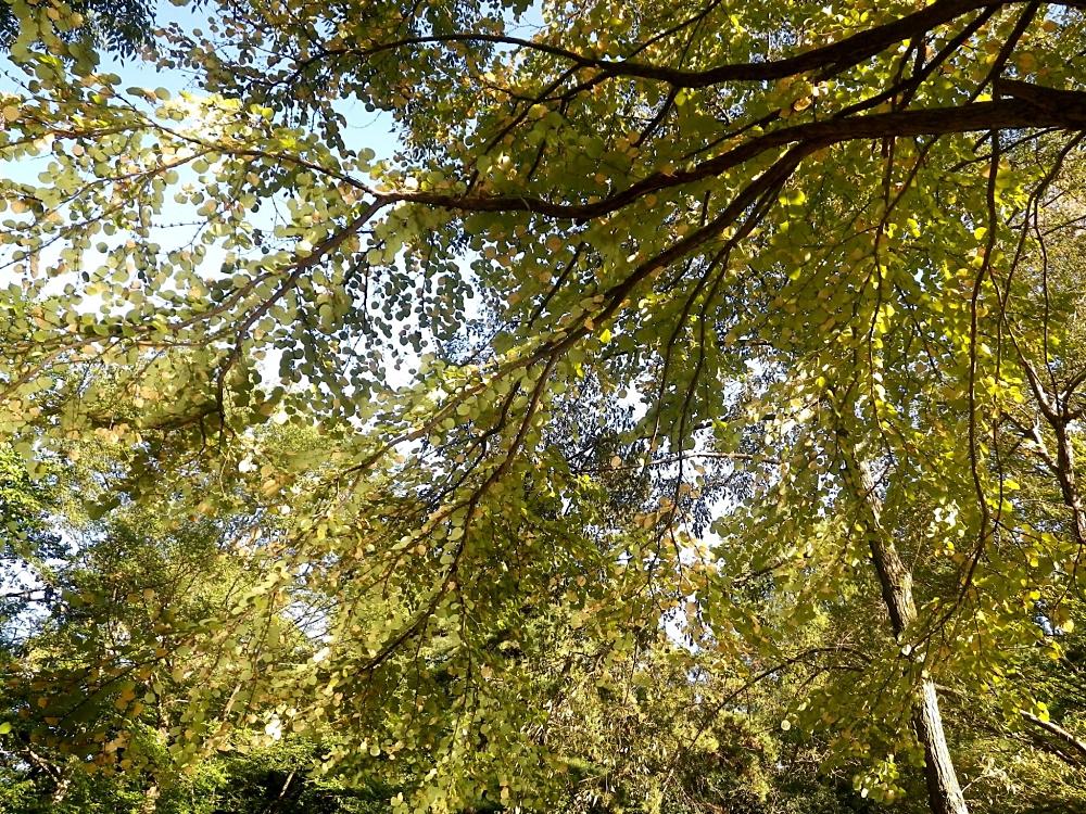 2014/10 所沢航空記念公園 池の反射光で葉が光っています。紅葉はまだこれから。