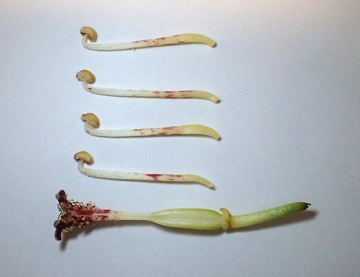 キイジョウロウホトトギス・柱頭と雄蕊(実際には雄蕊は6本)