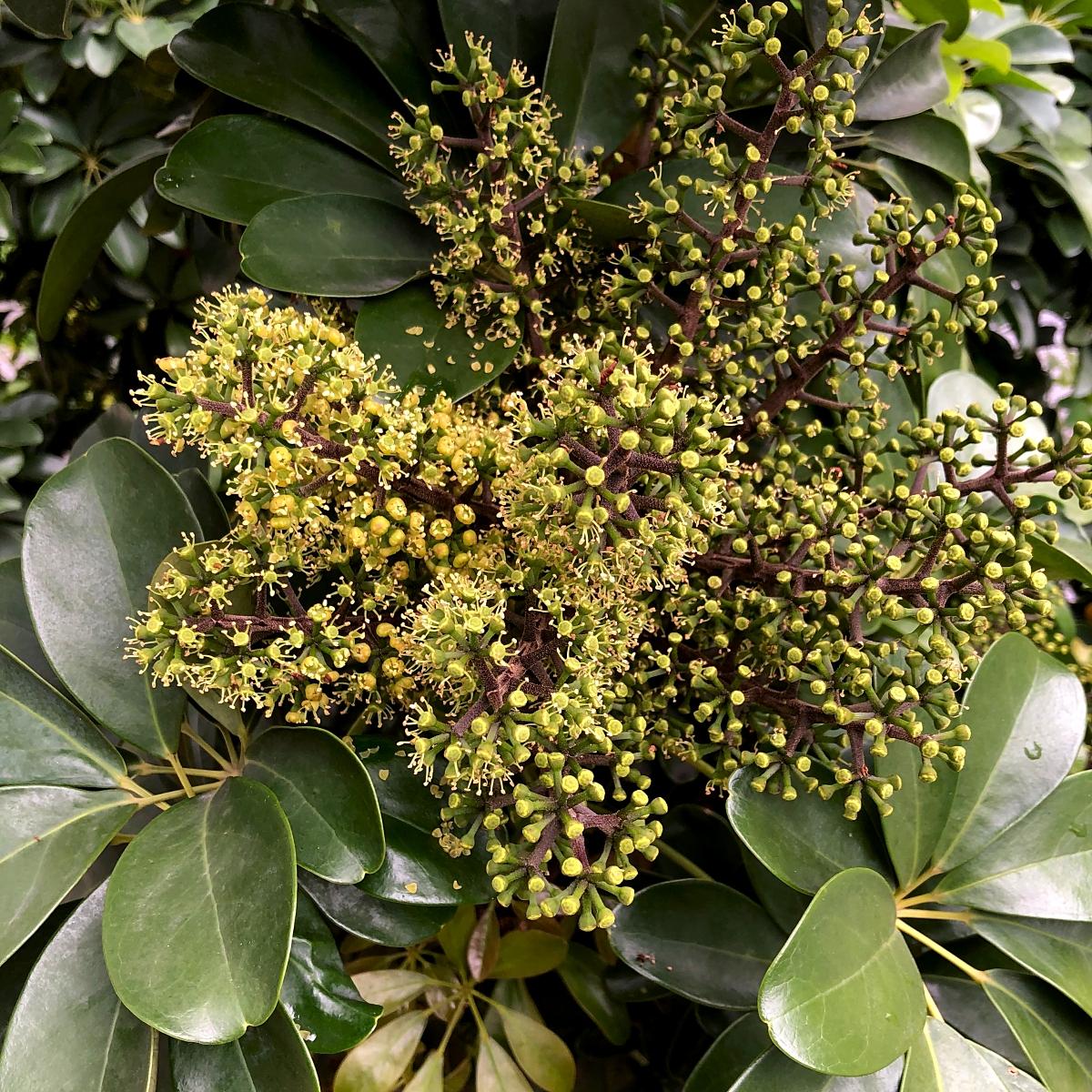 ヤドリフカノキの花
