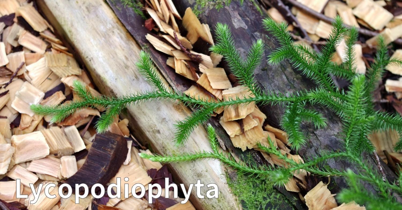 ヒカゲノカズラ植物