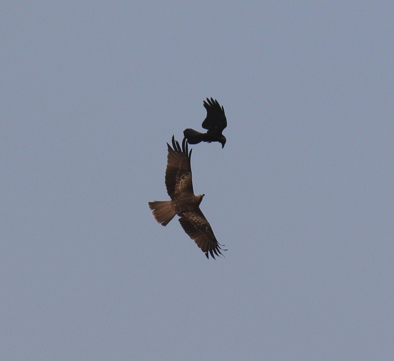 トビとカラスの空中戦