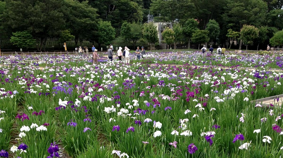 観光客でにぎわう菖蒲園(6月)